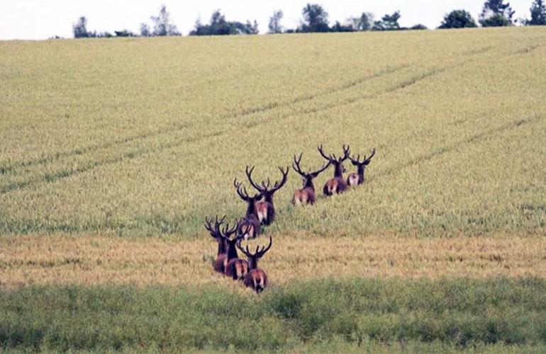 Ward Union Hunt Deer Herd